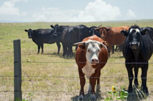 Hot Weather Cattle