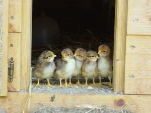 6 Week Old Chicks