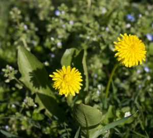 Weed Control Options for Pastures and Lawns