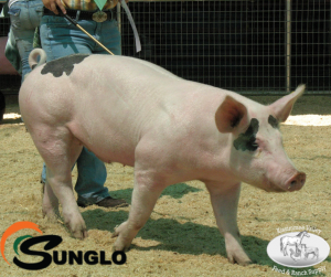 Sunglo Show Pig Clinic