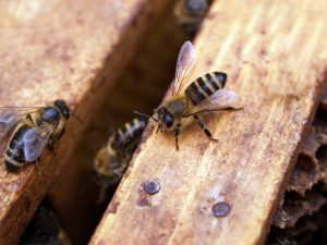 Beekeeping: is it for me?
