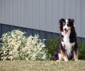 Fall Pet Allergies: A Fluffy dogs sits outside next to a bush.